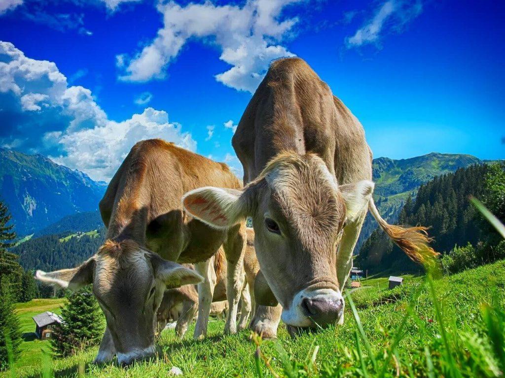 牛、放牧、ノンストレス